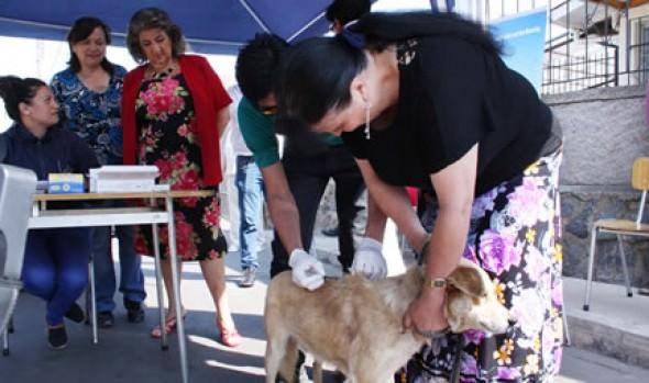 Municipio de Viña del Mar desarrolla programa de desparasitación para el control de  garrapata