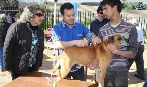 Municipio viñamarino realizó exitoso operativo de vacunación de mascotas
