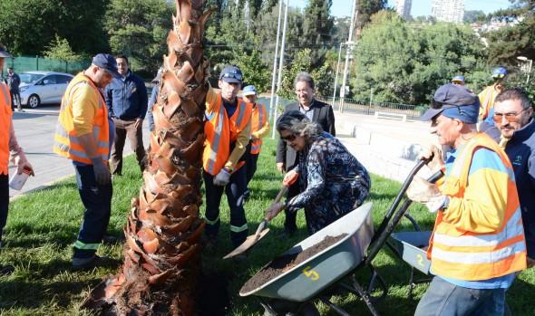 Municipio de Viña del Mar inició plantación de 300 palmeras en vías urbanas de la comuna