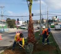 Municipio de Viña del Mar continúa en Gómez Carreño plantación de palmeras para ornamentación urbana
