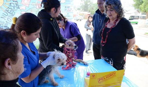 Municipio de Viña del Mar aplicará 30 mil dosis  a mascotas para combatir plaga de garrapatas