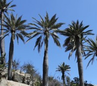 Charla online ofrecerá un completo análisis y panorama de la Palma Chilena